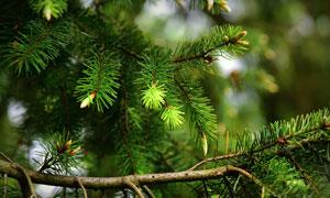 四季常青的松树枝特写摄影高清图片