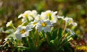 一簇白色花卉植物特写摄影高清图片