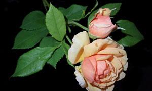夜晚中绽放的玫瑰花朵摄影高清图片