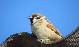 房檐上的一只小鸟特写摄影高清图片