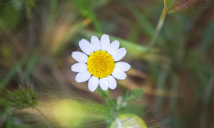 草丛中绽放的菊花特写摄影高清图片
