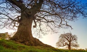 蔚蓝天空下的一棵大树摄影高清图片
