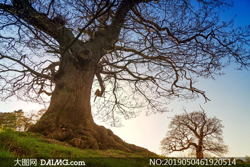 大圖首頁 高清圖片 自然風景 > 素材信息          黃昏時大樹剪影與