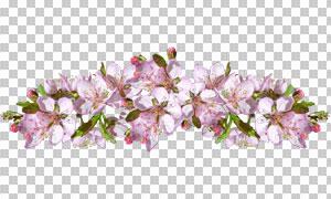 粉红色的樱花免抠透明背景高清图片