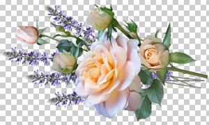 薰衣草与玫瑰花朵透明背景图片素材