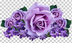 玫瑰花等紫色花朵主题免抠图片素材