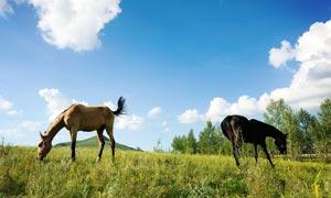 蓝天下正在吃草的马群摄影图片