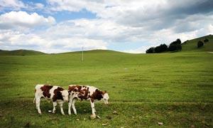 草原上的奶牛高清摄影图片