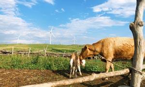 蓝天下的母牛和牛仔摄影图片