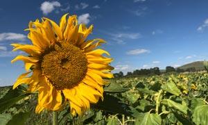 蓝天下的美丽向日葵摄影图片