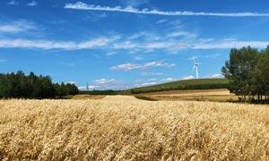 蓝天下的燕麦地高清摄影图片