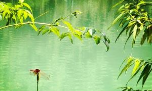 池塘边蜻蜓点水摄影图片