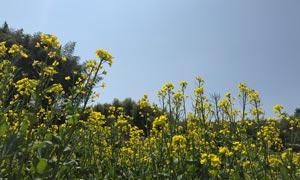 蓝天下的油菜花景观摄影图片