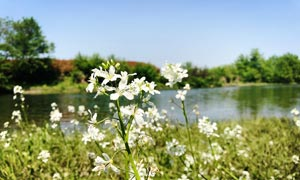 河边美丽的野花微距摄影图片
