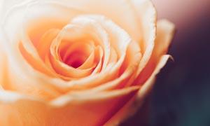 橙色的玫瑰花微距攝影圖片