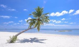 蓝天下的海边椰树摄影图片