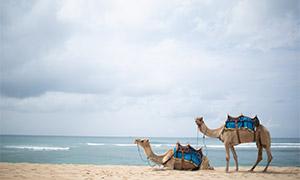 海边沙滩上的两只骆驼摄影原片素材