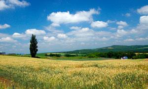 蓝天下成熟的麦田摄影图片