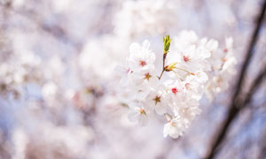 春季盛开的樱花近景摄影图片