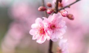粉色盛开的樱花近景摄影图片