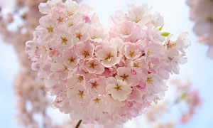 ?#30007;?#30340;樱花盛开美景摄影图片