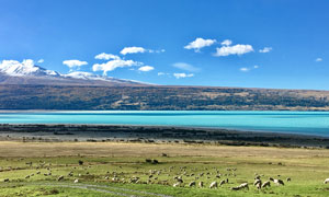 蓝天下的湖泊和羊群摄影图片