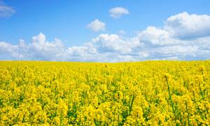 蓝天白云下的油菜花高清摄影图片