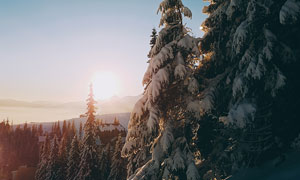 清晨雪后美麗的松樹攝影圖片
