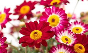 花粉被吹散的菊花特写摄影高清图片
