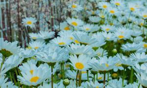 白色菊花花卉植物风景摄影高清图片