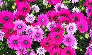 鲜艳菊花与含苞待放的花朵高清图片