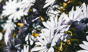 灰白色的菊花植物特写摄影高清图片