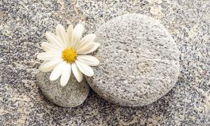 鹅卵石与一朵菊花特写摄影高清图片