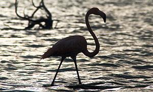 在浅水区漫步的火烈鸟摄影高清图片