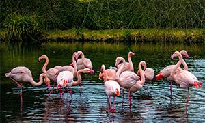 聚集在一起的火烈鸟们摄影高清图片