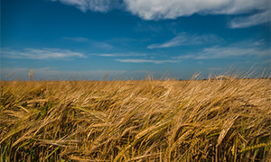 蓝天白云与快要成熟的小麦高清图片