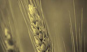 地里的小麦穗近景特写摄影高清图片
