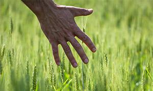 手抚过麦穗的情景特写摄影高清图片