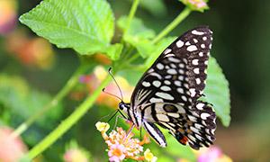 鲜花上的一只蝴蝶特写摄影高清图片