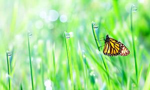 晶莹水珠植物上的蝴蝶摄影高清图片