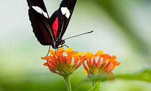 植物鲜花上的一只蝴蝶摄影高清图片