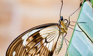 停在绿叶上的一只蝴蝶特写高清图片