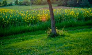 清晨陽光透過大樹攝影圖片