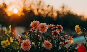 黄昏下的美丽花朵摄影图片
