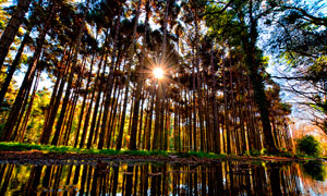 清晨陽光穿過樹林攝影圖片