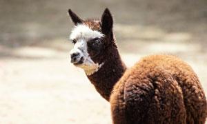 棕色毛发羊驼近景特写摄影高清图片