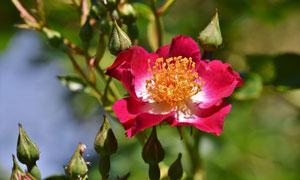 藤蔓上绽放的红色花朵摄影高清图片