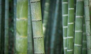 竹林里翠绿的竹子特写摄影高清图片