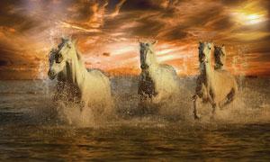 在水中奔腾的几匹白马摄影高清图片
