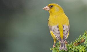 树枝上的黄色小鸟特写摄影高清图片